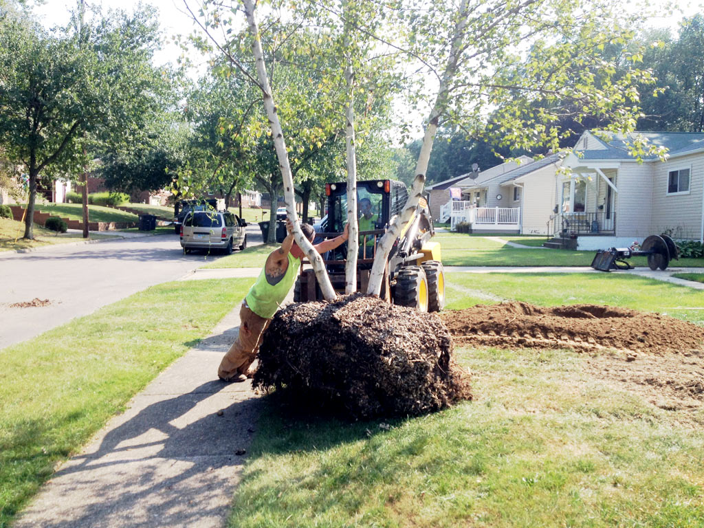 lamanna's tree service tree relocation and planting